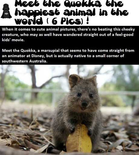 Meet the Quokka, the happiest animal in the world ( 6 Pics ...