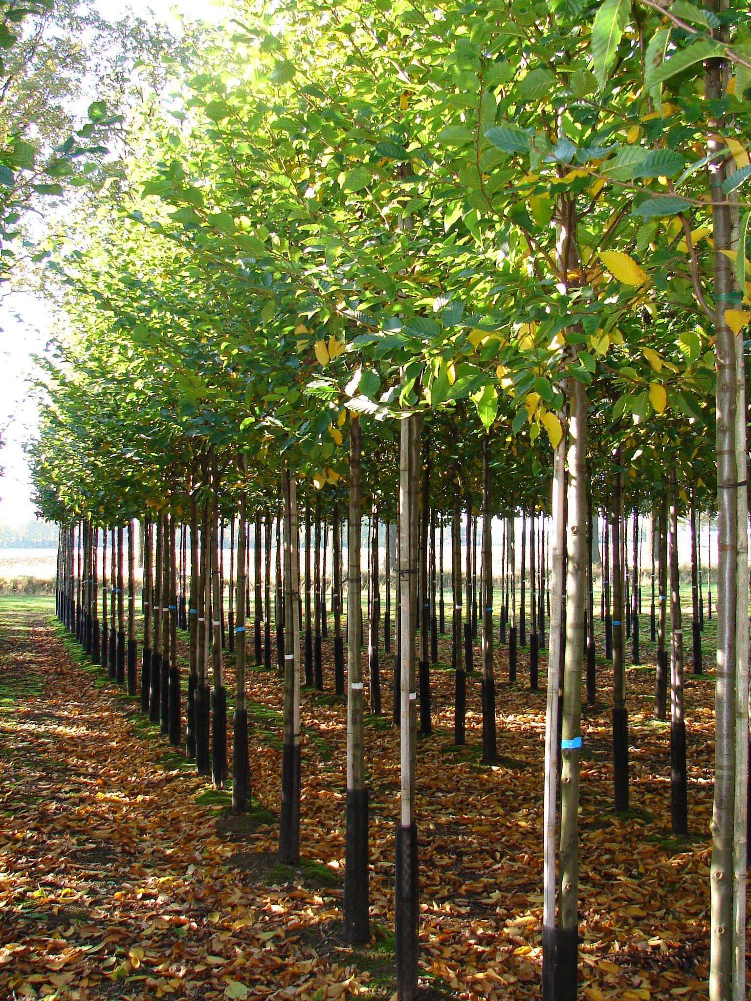 Carpinus Betulus Frans Fontaine Haagbeuk Hoogstam Mooie Vaste Dikke Kroon