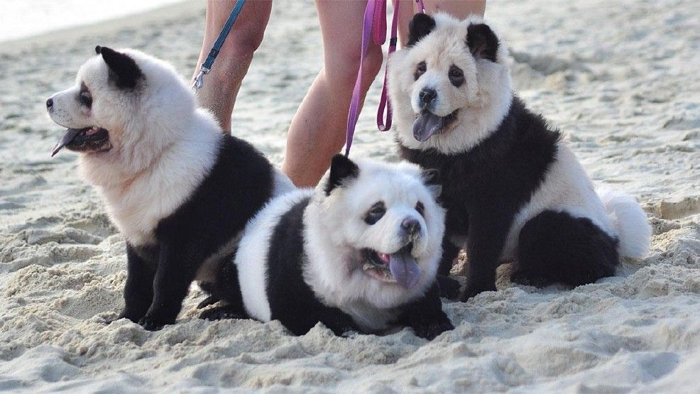 One Chow Chow Owner In Hong Kong Dyed Her Dogs To Look Like Panda