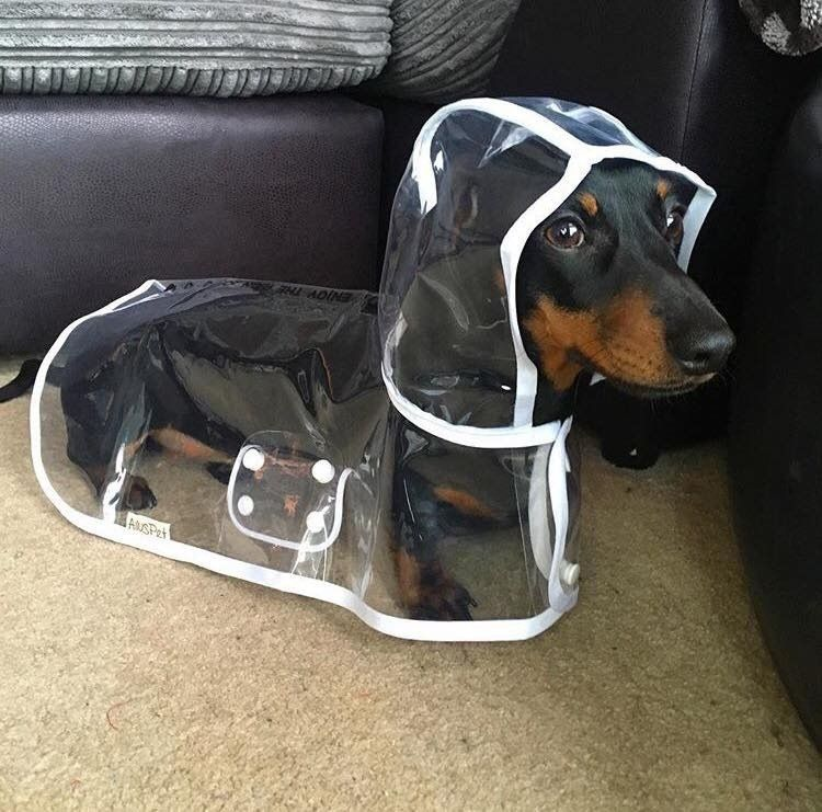 A Patient Dachshund Models A Custom Made Transparent Raincoat For