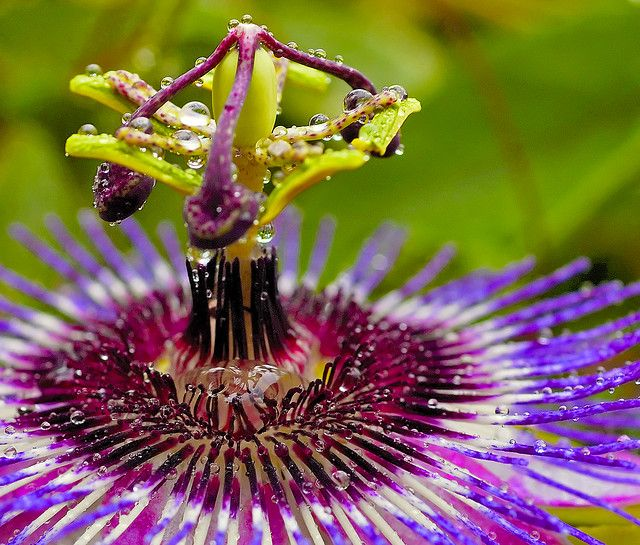 Passion In The Rain Flower Seeds Passion Flower Unusual Flowers