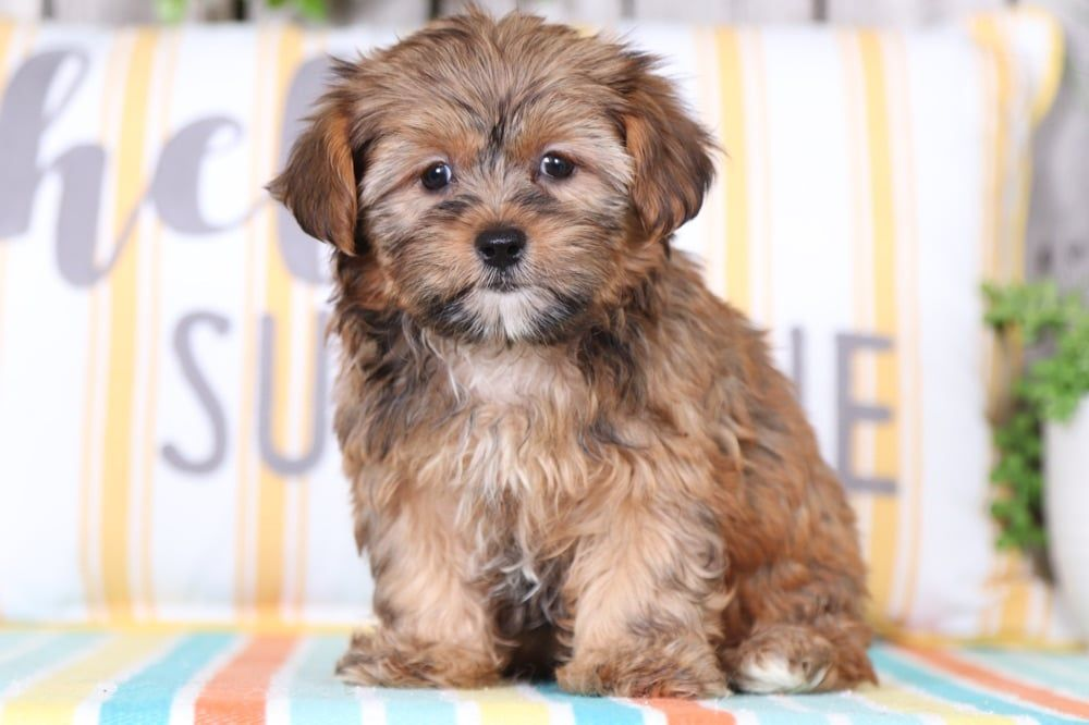 Shorkie Puppies For Sale In 2020 With Images Shorkie Puppies