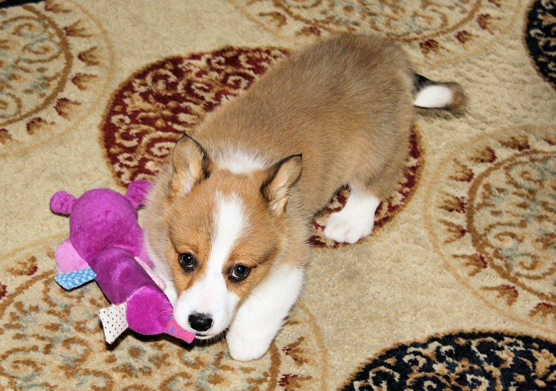 Henry welsh puppy 3 cute cute