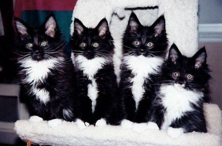 Sarajen Maine Coon Cats Kitten Pictures Maine Coon