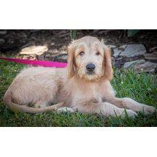 Jill 559 Golden Retriever Rescue Of Southwest Florida Inc Naples Florida Pets Overstock Com Animal Sanctuary Pets Golden Retriever Rescue