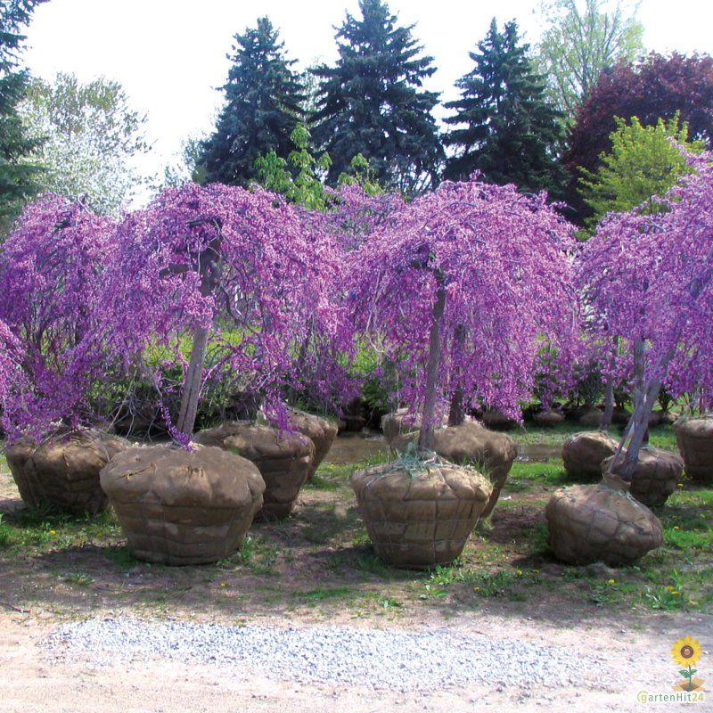 cercis canadensis 39 lavender twist 39 geh lze stauden zierpflanzen gem se kr uterpflanzen. Black Bedroom Furniture Sets. Home Design Ideas