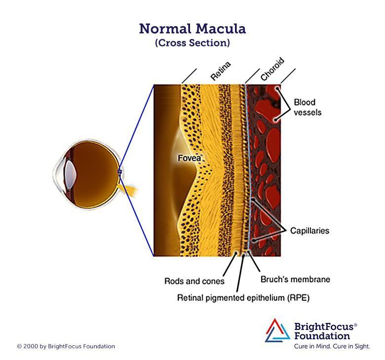 Eye anatomy including Bruch's membrane, choroid, macula ...
