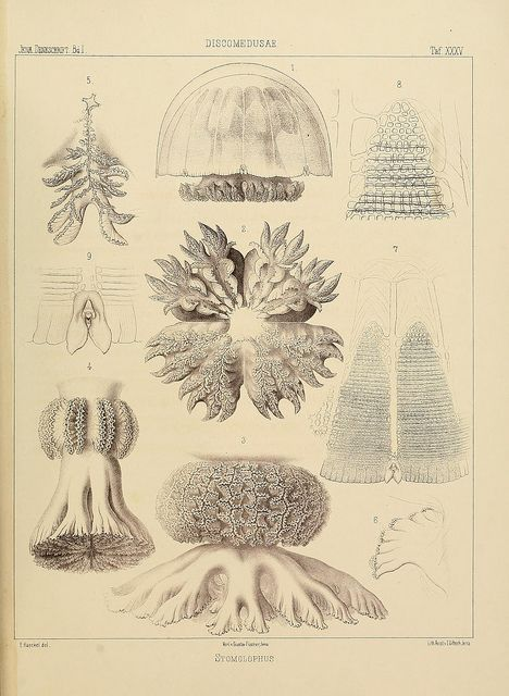 n150_w1150 | Pinterest | Jellyfish, Anatomy and Life drawing