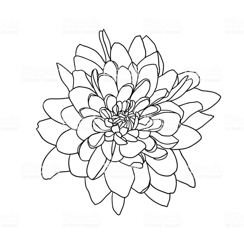 Linear Vector Chrysanthemum Flower Black On White Background Chrysanthemum Drawing Flower Sketches Free Vector Art