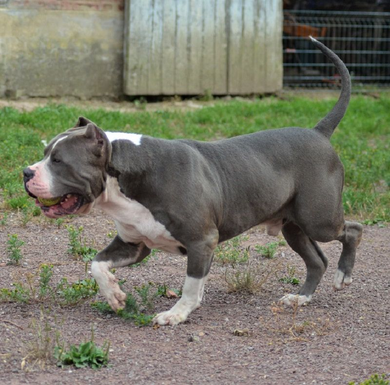 Elevage American Bully XL / XXL Pitbull