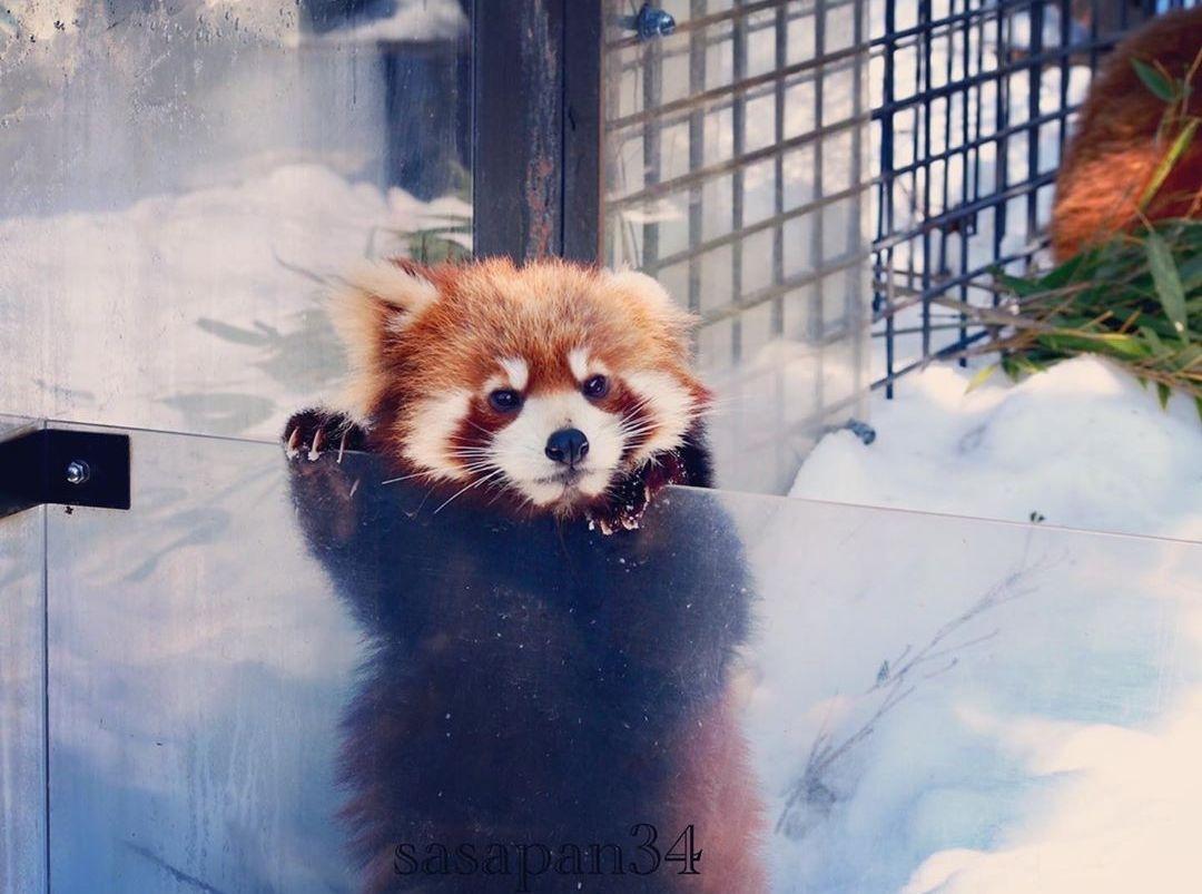 Pin Von Elouisa Auf Kleiner Panda Roter Panda Kleiner Panda Pandas