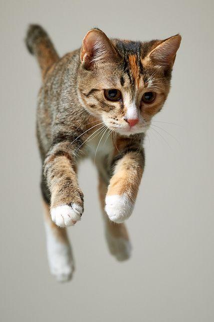 Tabby Cat mid air ☆