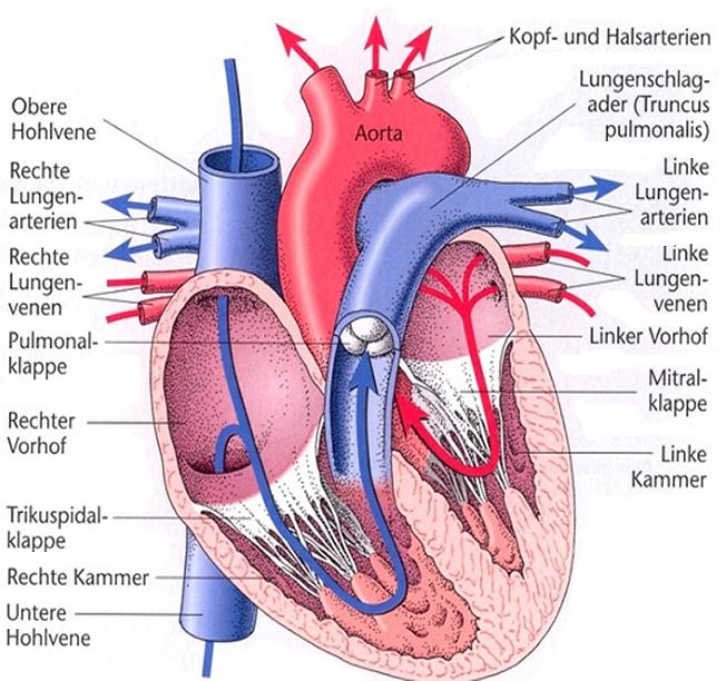 anatomischer Querschnitt des menschlichen Herzens | tattoo ...