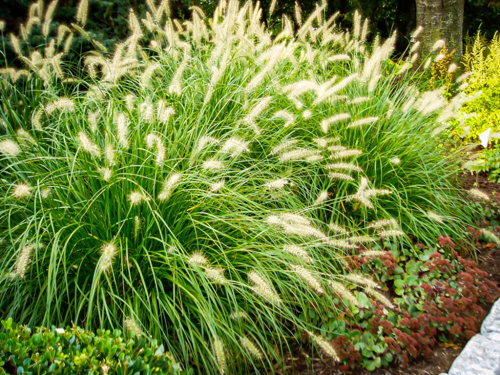 Dwarf Hameln Fountain Grass Fountain Grass Ornamental Grasses Edging Plants