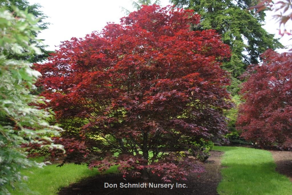 O Kagami Has Large Deep Red To Purple Leaves Create A Showy Display Green Undertones Appear Midsummer Nice Bronzing Grows To 15 Feet Full Sun Acer Japonesas