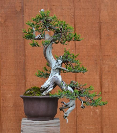 Rocky Mountain Juniper By Michael Hagedorn Bonsai Art Bonsai Tree Bonsai