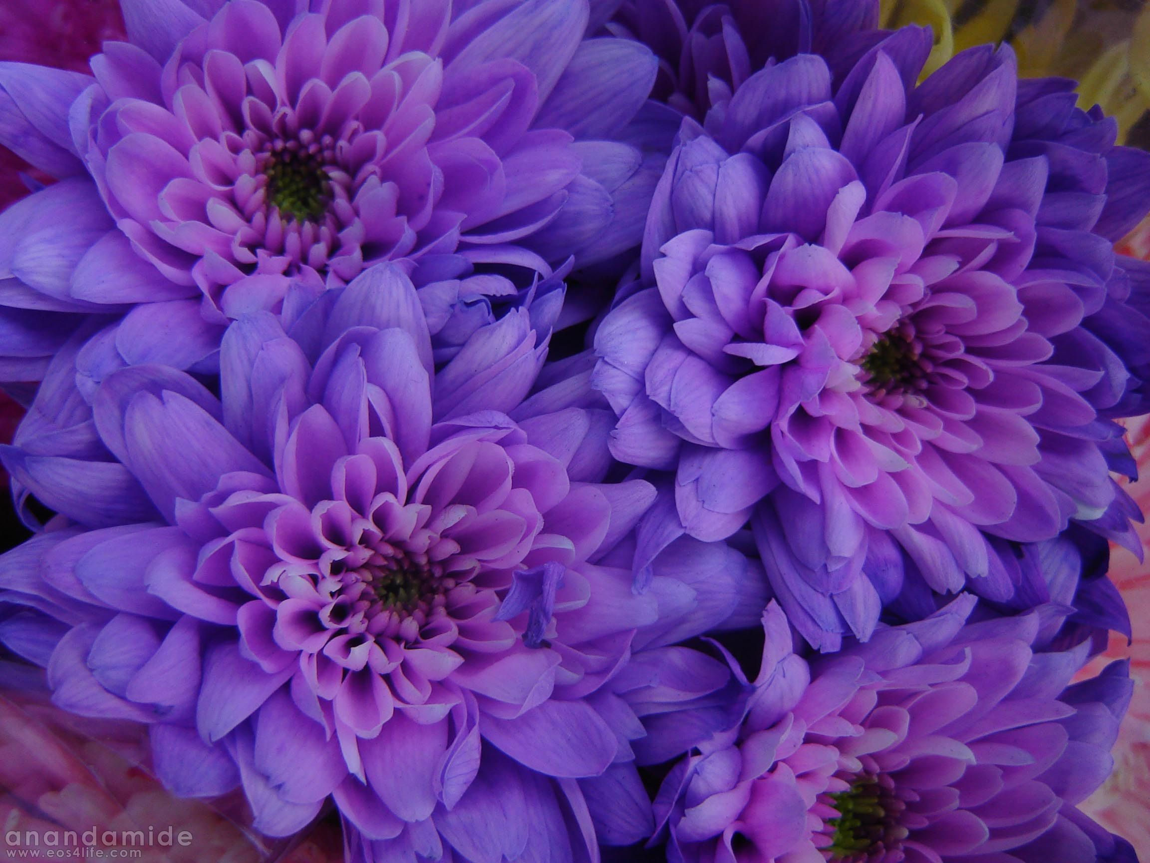 Flowers Purple Flower Picture Pictures