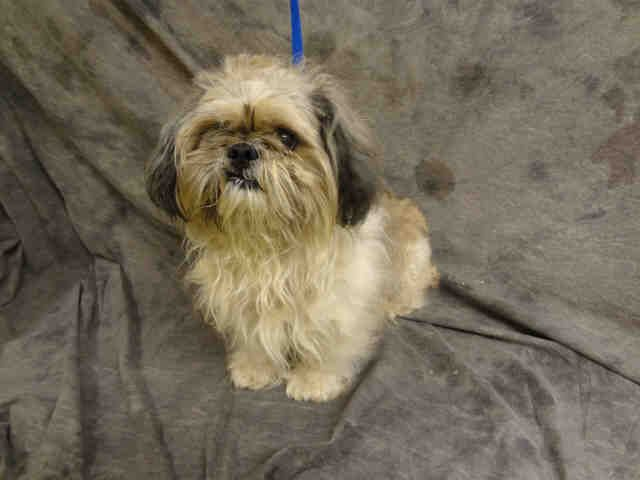 A371102 3yr Old Neutered Shih Tzu Rescue Only Due To Biting