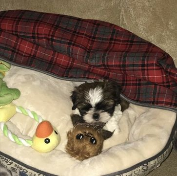 Shih Tzu Puppy For Sale In Lees Summit Mo Adn 51303 On