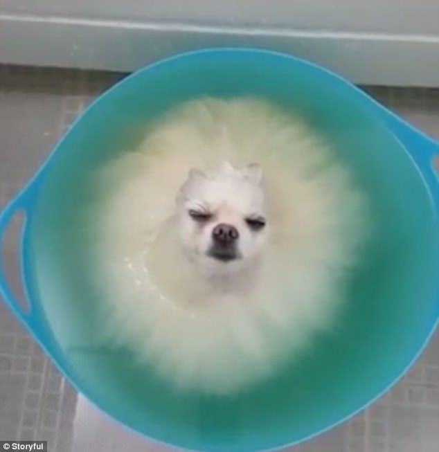 Bizarre Bath Time Video Of Submerged Pomeranian Is So Soothing
