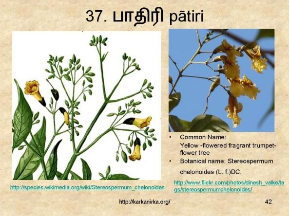 37 ப த ர Patiri Flowering Trees Flower Names Yellow Flowers