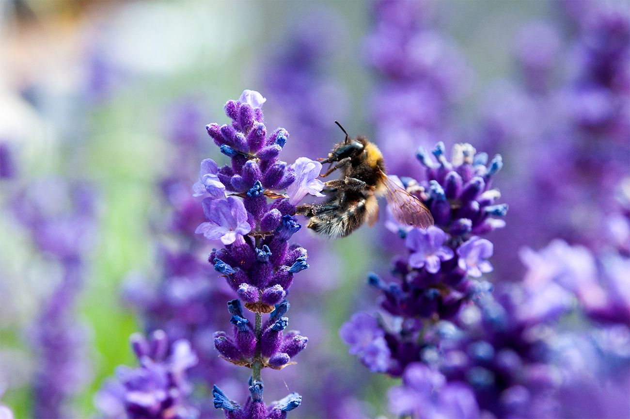 Rosliny Miododajne Lawenda Animals Bee Insects