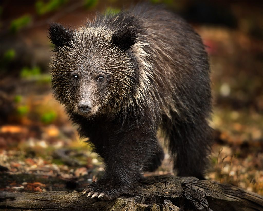 Grizzly Cub | Fine Art Nature Photography by Steve Perry