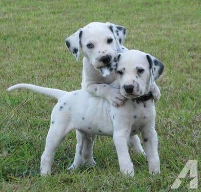 Akc Dalmatian Puppies Dalmatian Puppies For Sale Dalmatian Puppies