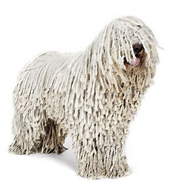 Do You Like This Giant Dog Breed The Komondor Is Most Happiest When Click Here For More Komondor Dog Komondor Mop Dog