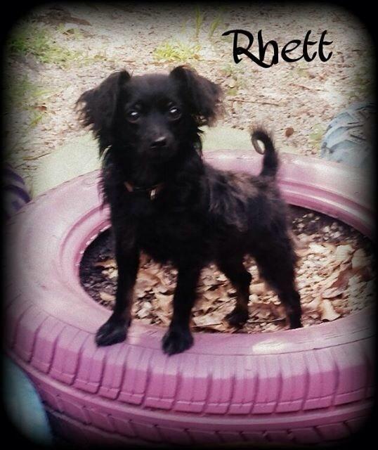 Adopt Rhett On With Images Papillon Dog Dogs Dog Walker