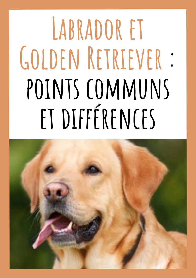 Labrador Et Golden Retriever Points Communs Et Differences Golden Retriever Labrador Adopter Un Chiot