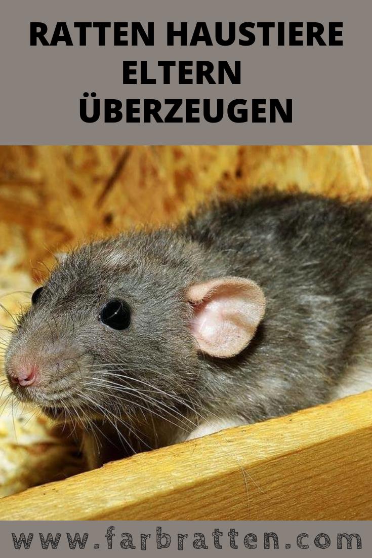 Wie Du Deine Eltern Uberzeugst Ratten Als Haustiere Zu Halten Ratte Haustier Haustiere Ratten
