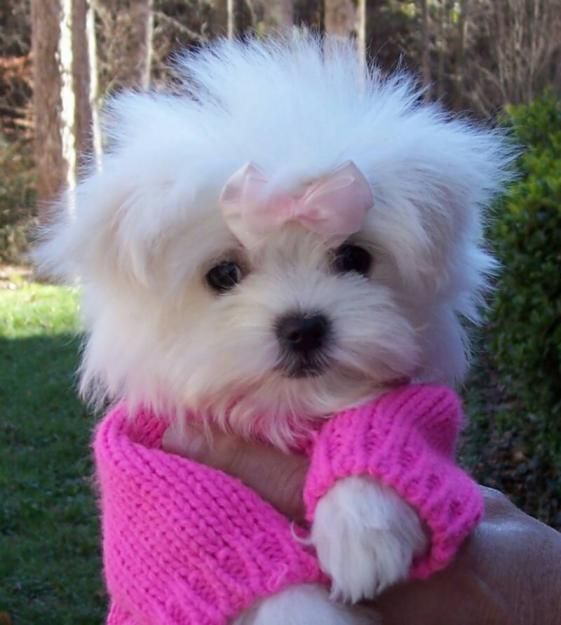 Puppy In Pink Maltese Puppy Cute Animals Cute Dogs