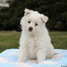 Image result for eskimo schnauzer | samoyed mix | Dogs, Rare