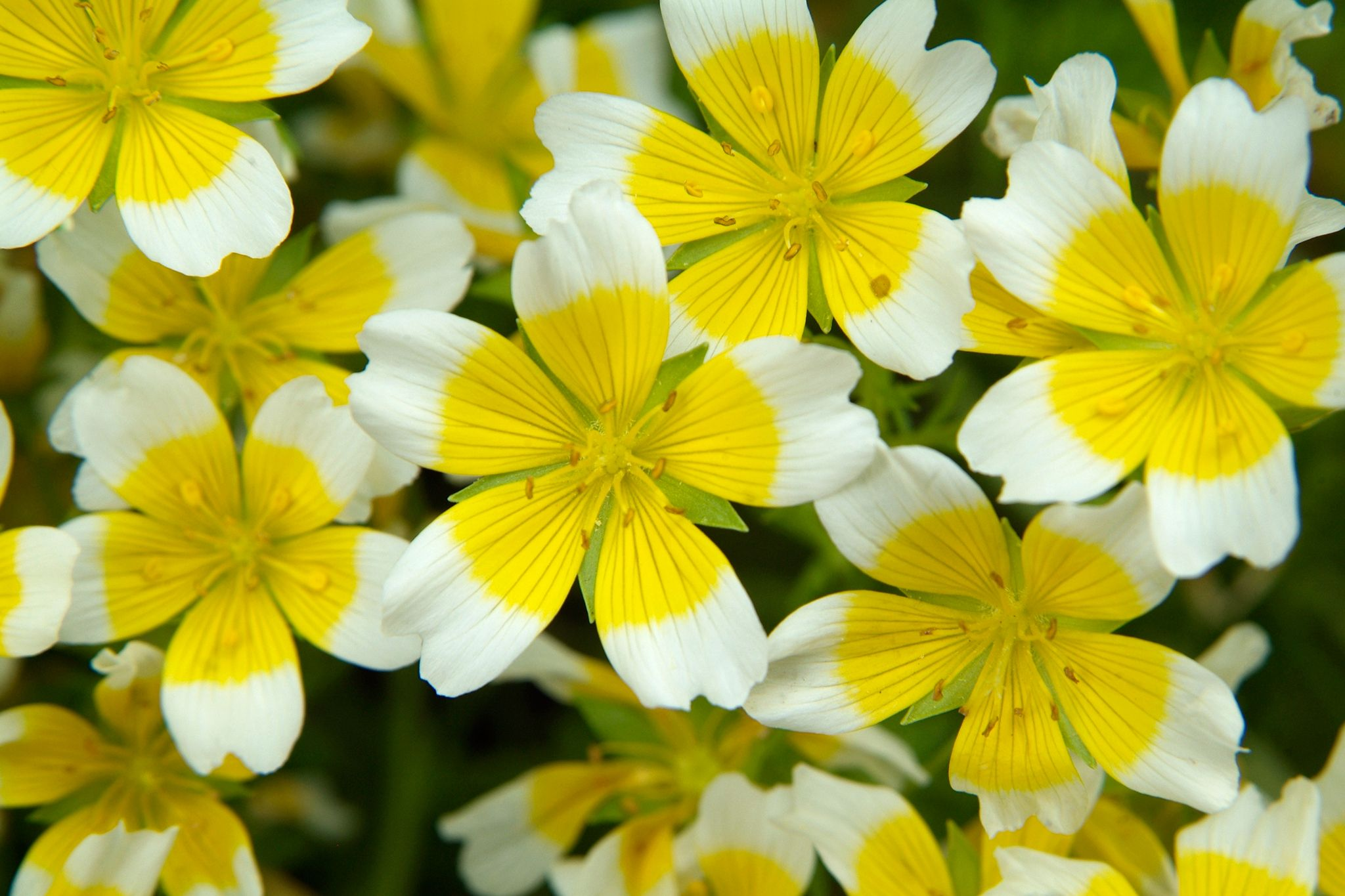 Limnanthes Douglasii Common Name Poached Egg Plant Fried Egg