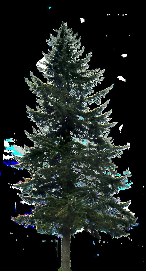 Pine Tree Big Tree Photoshop Pine Tree Tattoo Pine Tree Silhouette