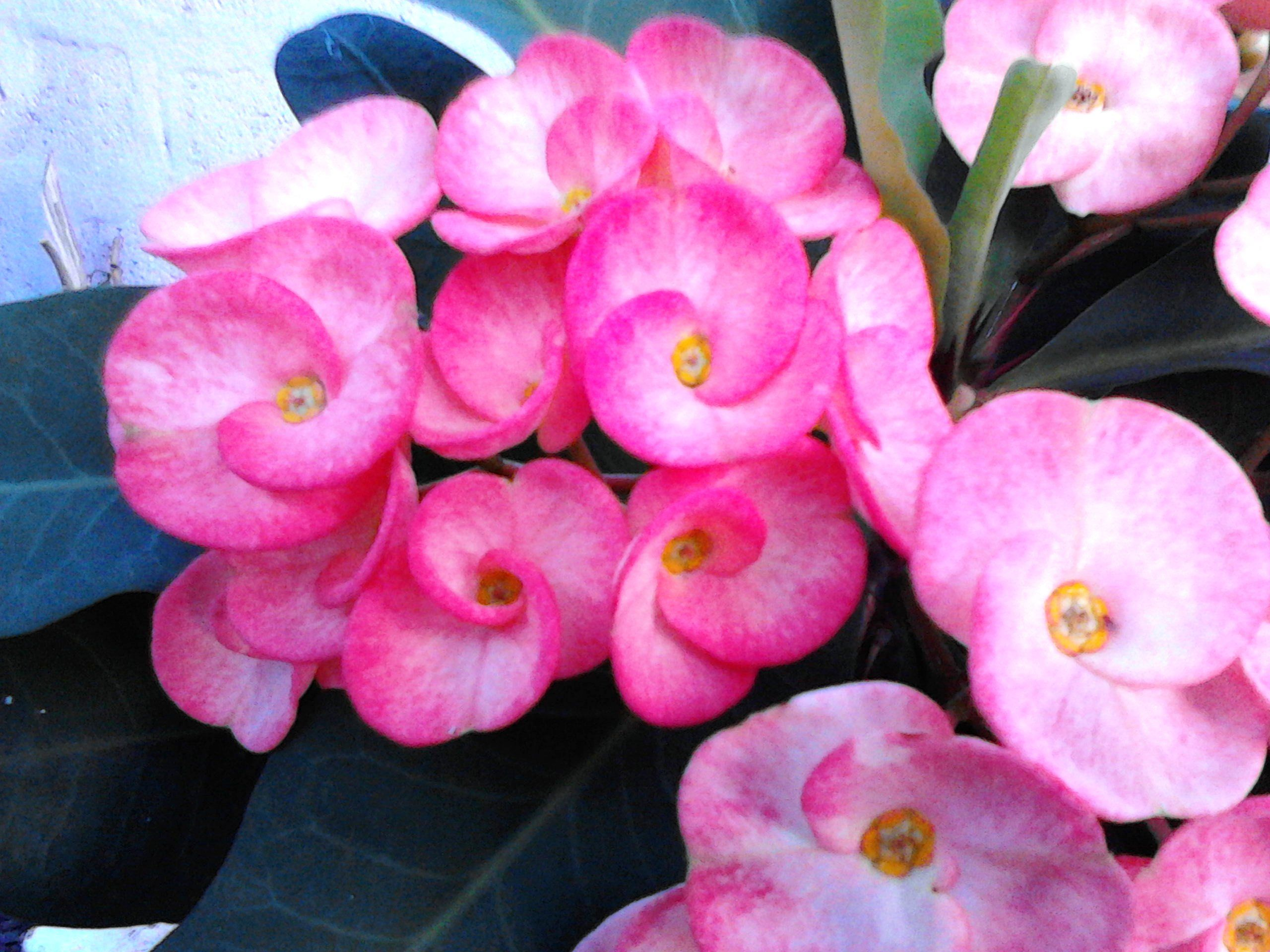 This Is A Plant Growing In My Yard Euphorbia Milii Crown Of Thorns Euphorbia Milii Flowers Hardy Plants
