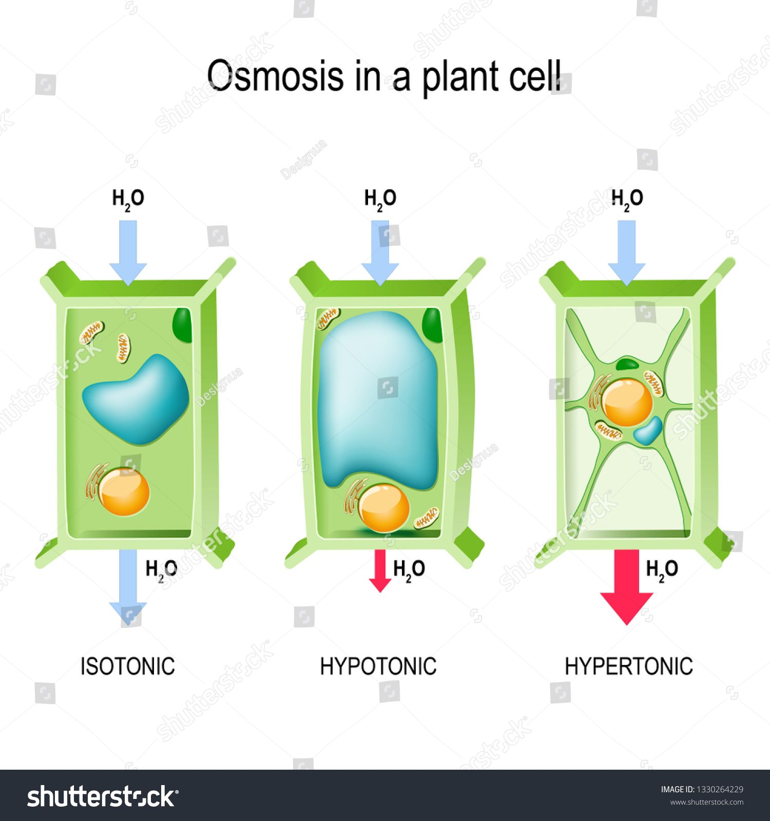 Osmosis In A Plant Cell 3 Types Of Tonicity Hypotonic