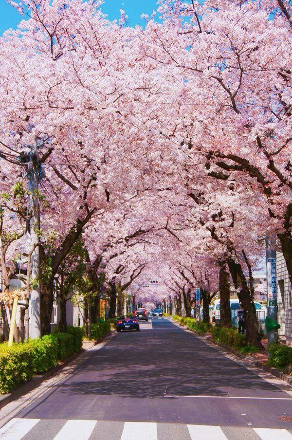 Pin Oleh Naylene Perez Di Cherry Blossoms Taman Bunga Bunga Sakura Gambar