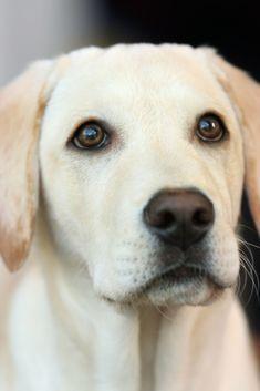 Untitled Labrador Retriever Labrador Dog Yellow Lab Puppy