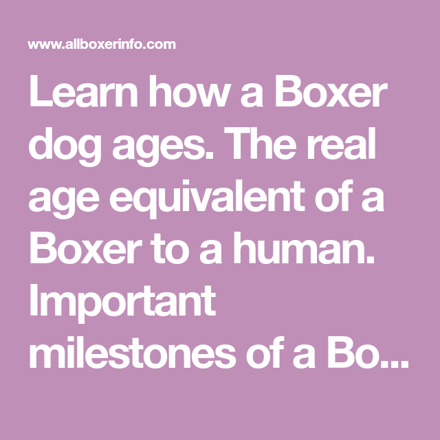 Learn How A Boxer Dog Ages The Real Age Equivalent Of A Boxer To A