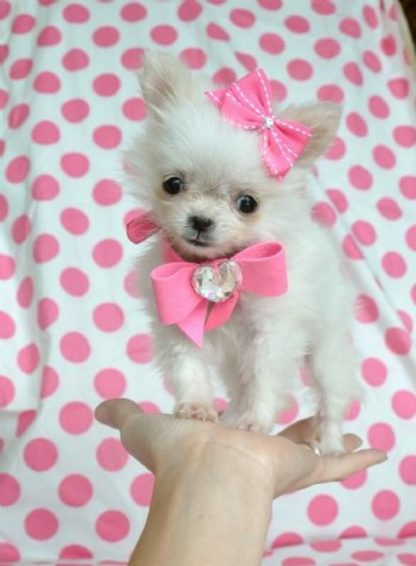 Pink Colorpink Pomchi Teacups Teacup Chihuahua Puppies