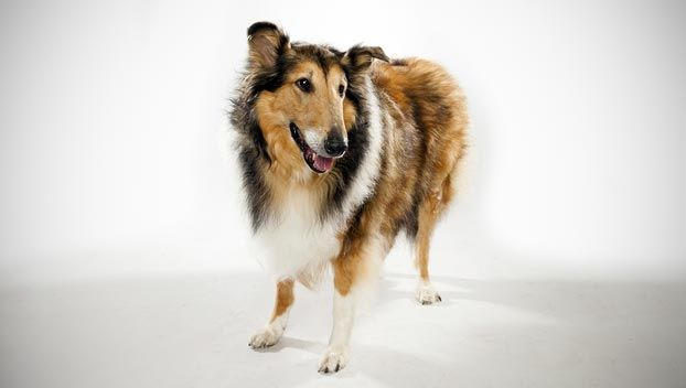 Collie Dog Breed Selector Dogs Dog Breed Selector Dog Breeds