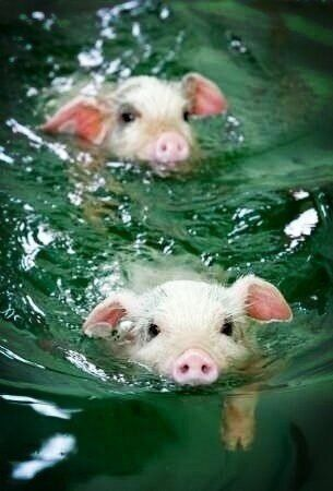 Piggies swimming.