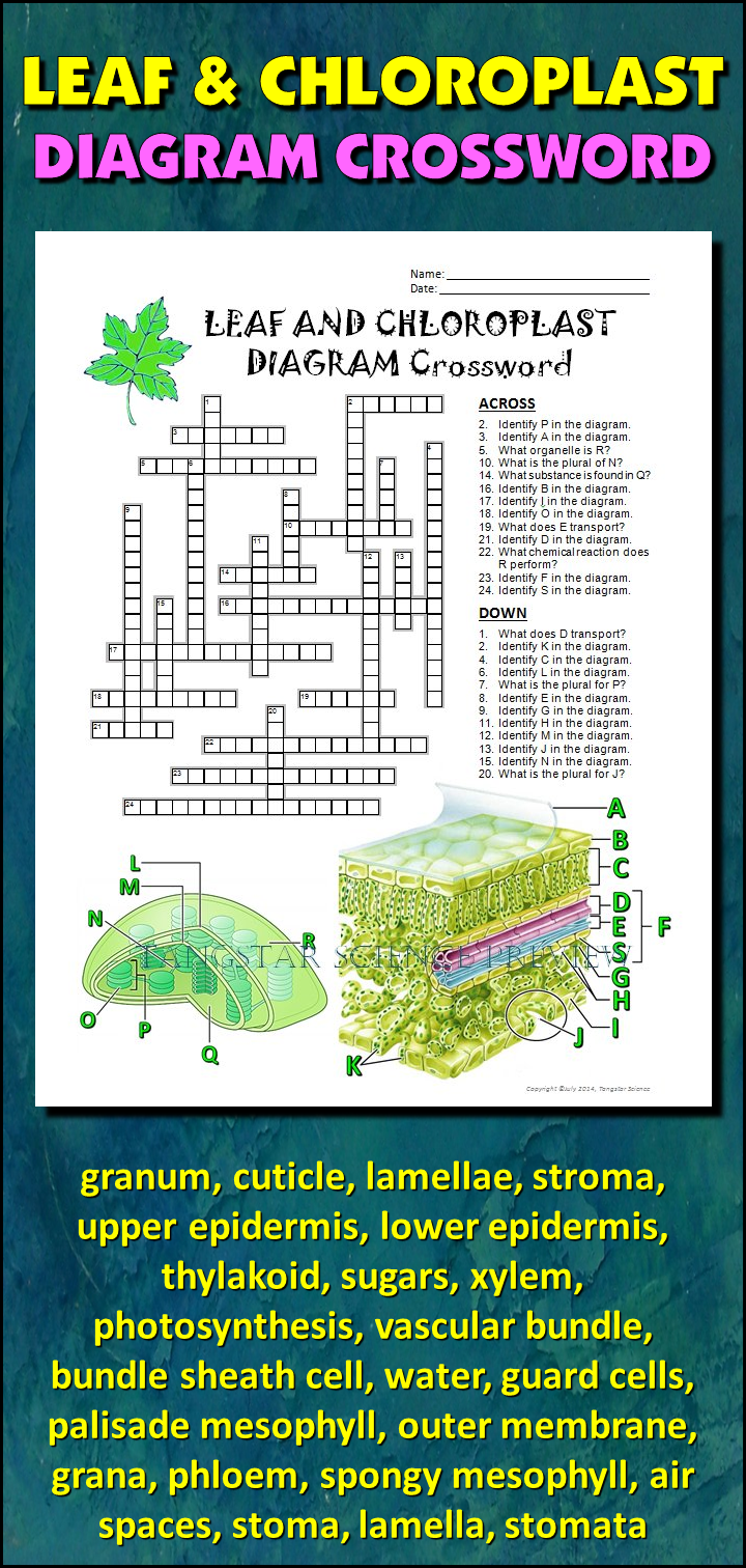 Leaf and chloroplast crossword with diagram editable student help students learn and remember the parts of the leaf and chloroplast using this diagram crossword ccuart Choice Image