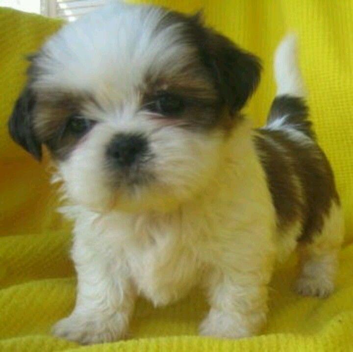 Teacup Shih Tzu Rescue Tiny Teacup Shih Tzu Puppies For Sale