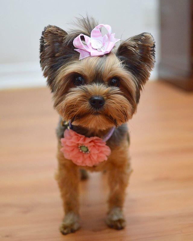 Wonderful Terrier Bow Adorable Dog - 5e226b39507bc2190c2d9b9e40ec5491  Graphic_496248  .jpg