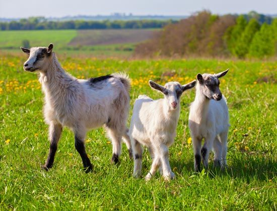 Goat lessons learned the hard way. - Capper's Farmer Magazine