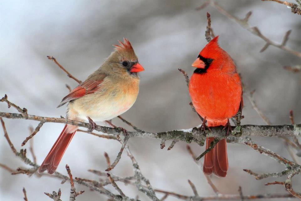 Male And Female Cardinal Cardinal Birds Beautiful Birds