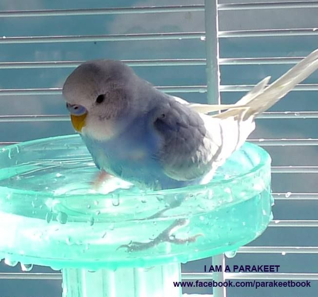 I Am Thinking When I Am Bathing Parakeet Pet Birds